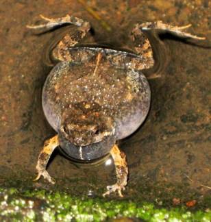 Image: Túngara frog