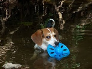 Image: Sassafras the missing beagle