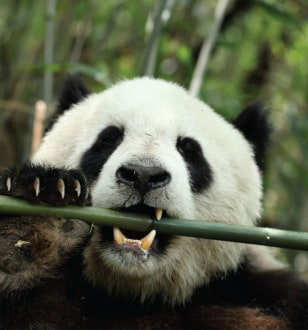 Image: Panda eating bamboo