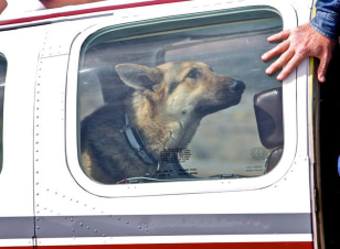 Image: German shepherd on an airplane