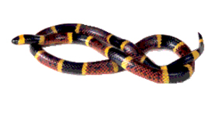 Image: Texas coral snake