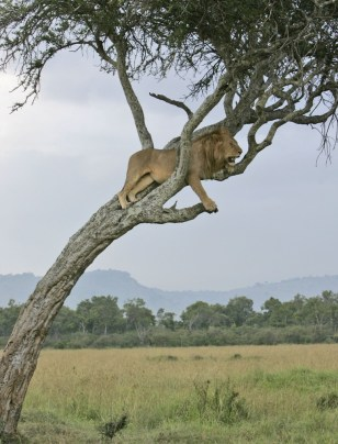 Image: lion rests in a tree in Kenya