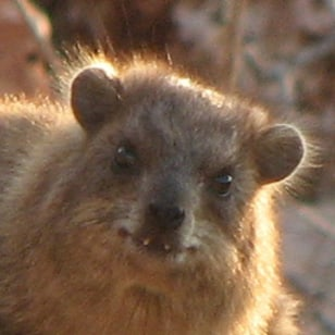 Image: Male hyrax