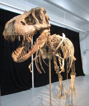 Image: Nearly complete Tyrannosaurus bataar