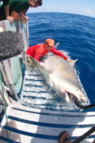 Image: 1,000-pound bull shark