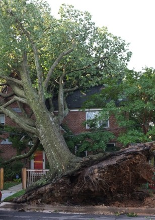 Image: An uprooted tree against DC home
