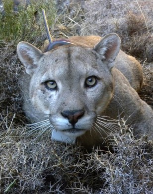 Annoying Condors Drive Cougars Make More Kills as well Pet Tracking also Strap PS Plastic Orange furthermore Gps Trailer Tracker moreover 122249834843. on horse tracking gps