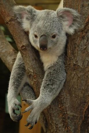 Image: A koala bear.