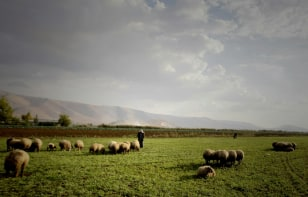 Image: A Bedouin man tends to his sheep