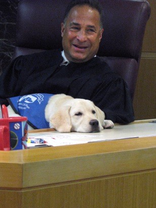 "Image: County Court Judge, Paul A. Levine at the Criminal Courts Complex in Clearwater, FL. with Justice,a 4 month old labrador in guide dog training Karen Hamilton is a Pinellas County Court Clerk and a volunteer guide dog ""puppy raiser"" for Southeast Gu"