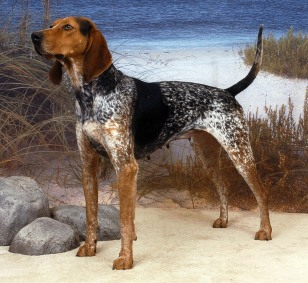 Image:American English coonhound