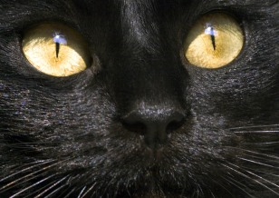 Image: Black cat