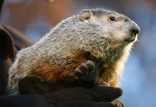 Image: Punxsutawney Phil the groundhog
