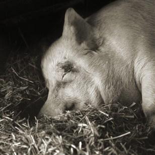 Image: Teresa, Yorkshire Pig, Age 13.