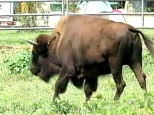 Image: Buffalo that tramped Tennessee man