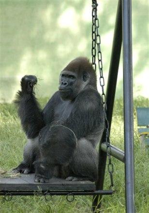 Image: Gorilla