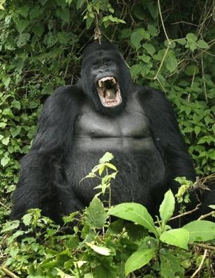 Image: Silverback gorilla