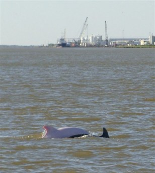 Image: Pink dolphin south of Lake Charles, La.