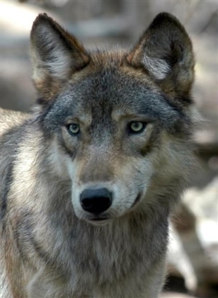 Gray Wolf Endangered