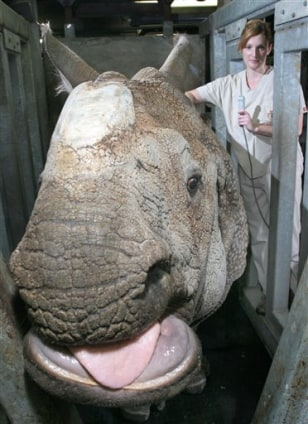Image: Indian rhino mama Nikki