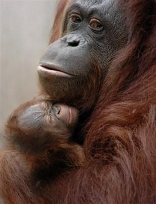 Image:Orangutans in Indonesia