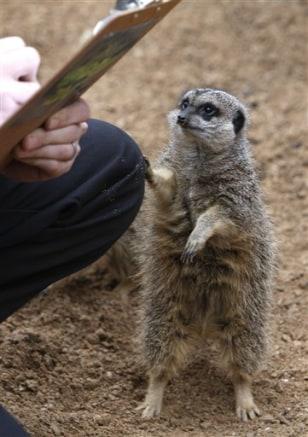 Image: meerkat