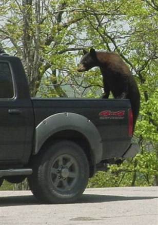Image: Back bear jumps on truck