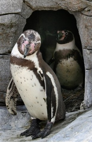 Image: Male penguin parents