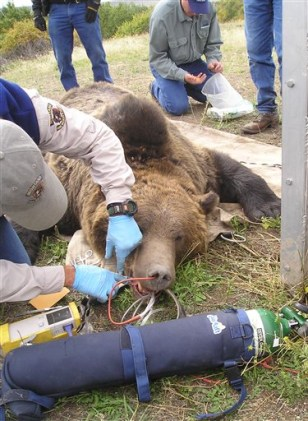 Image: Sedated bear