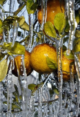 Image: Frozen Florida oranges