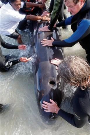 Image:pilot whales