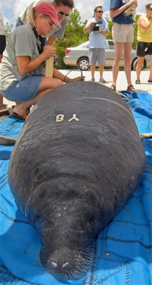 Manatees Released