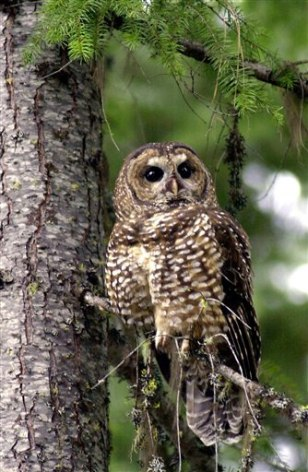 Image: Spotted owl