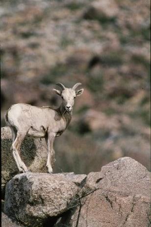 IMAGE: BIGHORN SHEEP