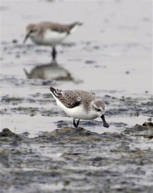 Image: Spoon-billed sandpipers