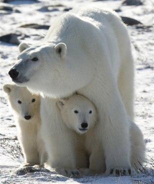 Polar Bears Concern
