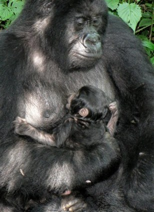 IMAGE: BABY GORILLA WITH MOM