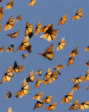 Image: Migrating Monarchs