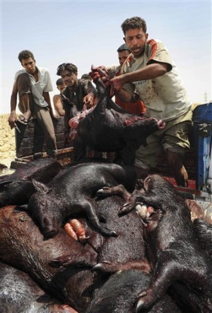 Image: Culling pigs in Egypt