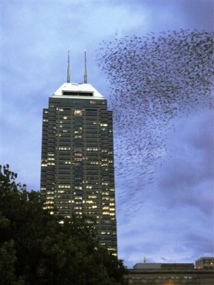 Image: Flock of European starlings in Indiana