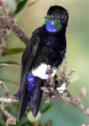 Colombia Hummingbird Discovered