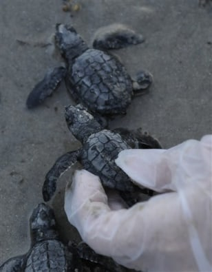 Image: Kemp's ridley turtle hatchlings