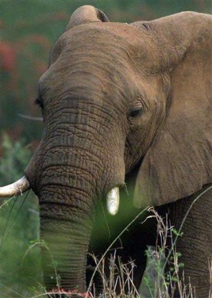 IMAGE: SOUTH AFRICA ELEPHANT