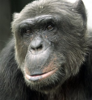 IMAGE: Hiasl the chimp