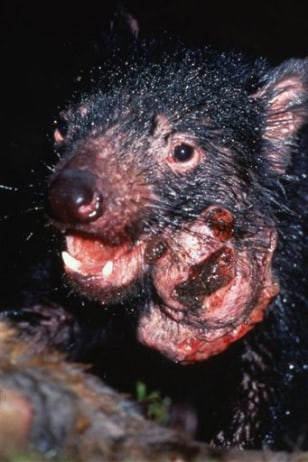 diseased marsupial