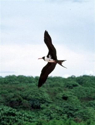 Christmas Island frigate bird