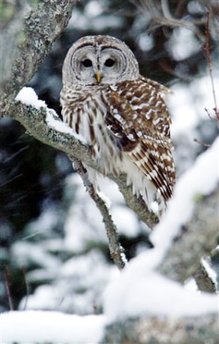 IMAGE: BARRED OWL