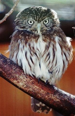 IMAGE: PYGMY OWL