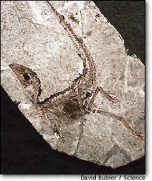 Image: Sinosauropteryx fossil