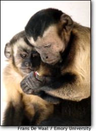 Image: Capuchins